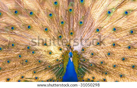 peacock as background - stock photo