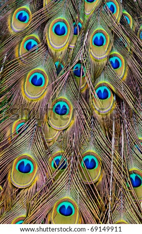 Peacock back as a background - stock photo