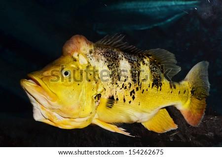 Peacock Bass  - stock photo