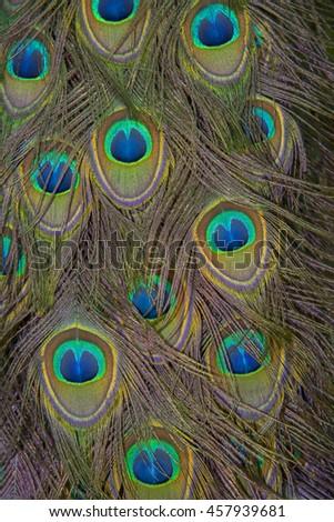 Peacock body feathers , beautiful bird feathers background - stock photo