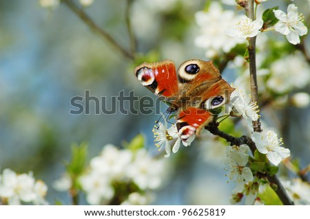 Peacock butterfly collecting pollen  from cherry flowers. - stock photo