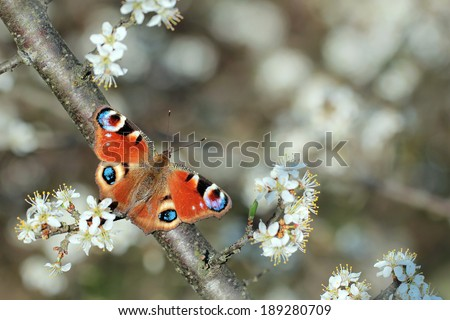 peacock butterfly Inachis io  - stock photo