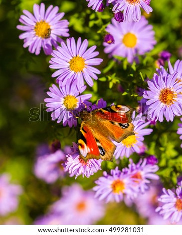 Peacock butterfly, inachis io, in purple wild flower meadow