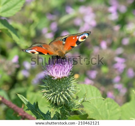 Peacock Butterfly nectaring on wild flower. - stock photo