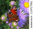 Peacock butterfly on flower. - stock photo