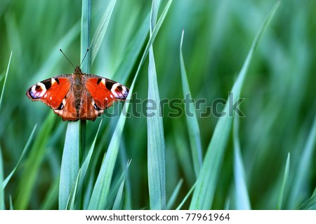 peacock butterfly on green grass - stock photo