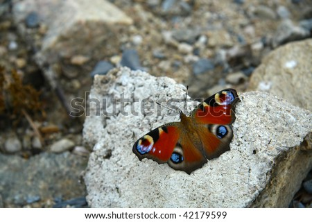 Peacock butterfly on the stone - stock photo