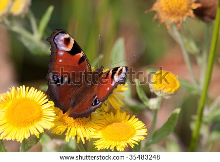 Peacock Butterfly resting on yellow daisy flower