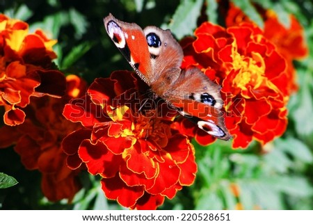 Peacock butterfly (Vanessa io) on tagete (Tagetes patula, marigold) flower  - stock photo