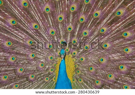 Peacock closeup - stock photo