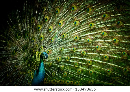 Peacock closeup on a background of feathers - stock photo