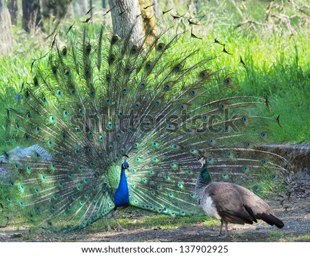 Peacock courting ritual, peahen looks at male - stock photo