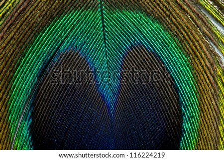 Peacock Detail Close Up Feather - stock photo