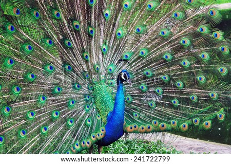 Peacock displaying his feather to attract female - stock photo