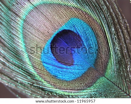 Peacock Feather 1 - stock photo