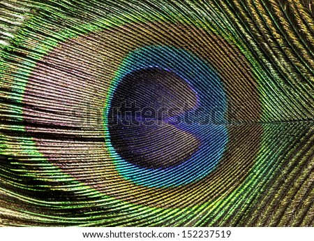 Peacock feather background - stock photo