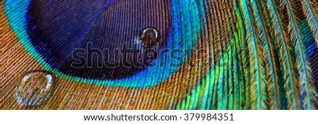 Peacock feather closeup, macro, letter box format - stock photo