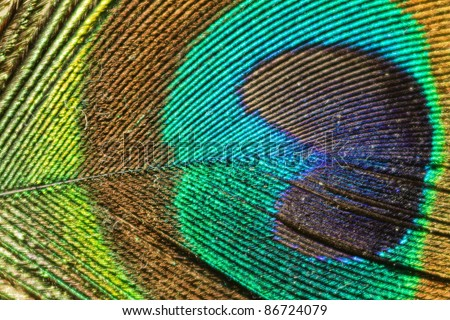 peacock feather detail - stock photo