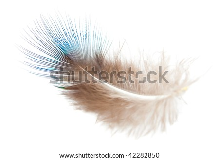 Peacock feather (down) isolated on white