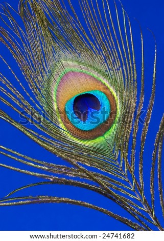 Peacock feather isolated on blue background - stock photo