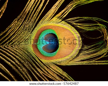 Peacock feather on a dark background - stock photo