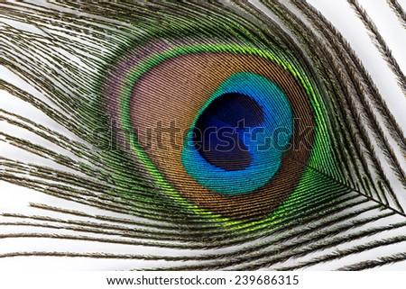 Peacock feather on  white background. - stock photo