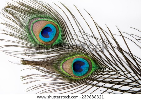 Peacock feather on  white background. - stock photo