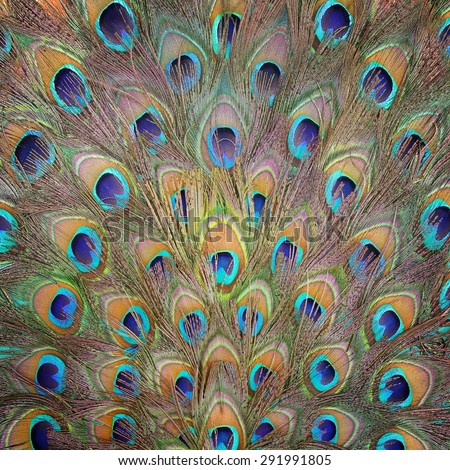 Peacock feather pattern background. - stock photo