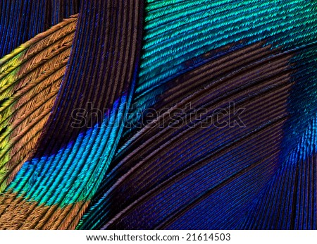 Peacock feather pattern macro - stock photo