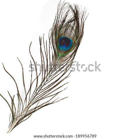 peacock feather plume isolated on white close-up