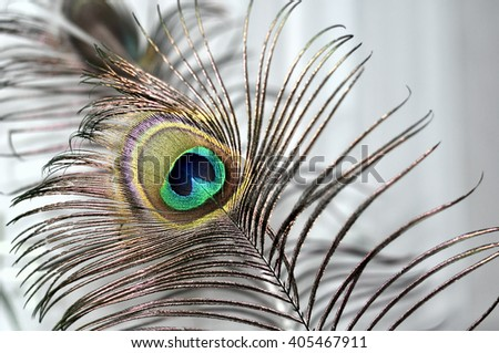 Peacock feather. Refined and bright - stock photo