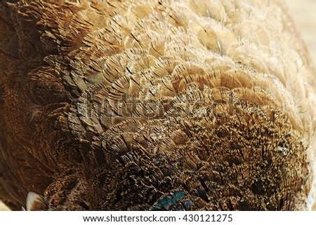 peacock feather texture - stock photo