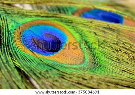Peacock feather texture pattern and color in close-up. - stock photo