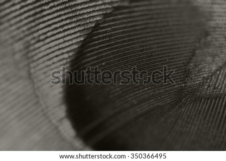 Peacock feather with details - black and white photo - stock photo