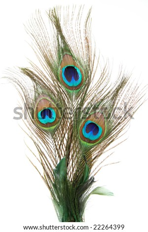 Peacock feathers - stock photo