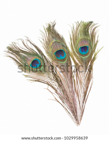 Peacock feathers a white background