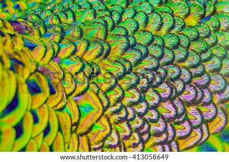 Peacock feathers colorful for use background and texture. - stock photo