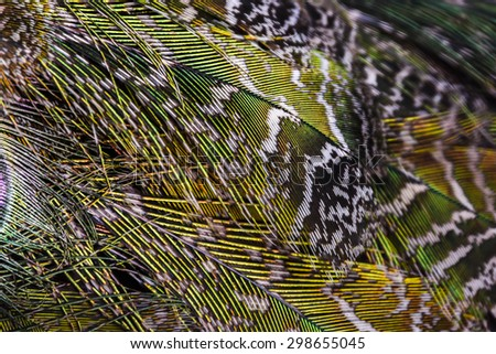 peacock feathers - genuine artistic colorful nature - stock photo