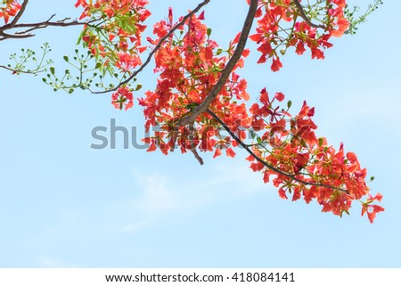 Peacock flower on blue sky background