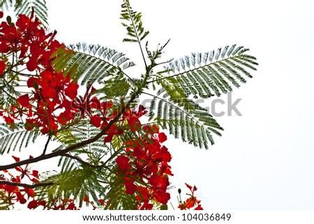 peacock flowers on poinciana tree. Isolated on white - stock photo