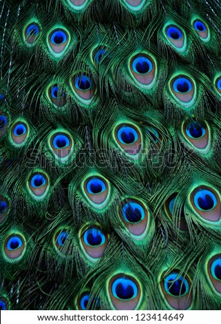Peacock green and blue plumage in close up. - stock photo
