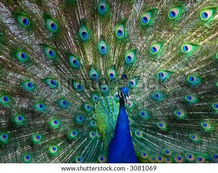 Peacock in Full Display - stock photo