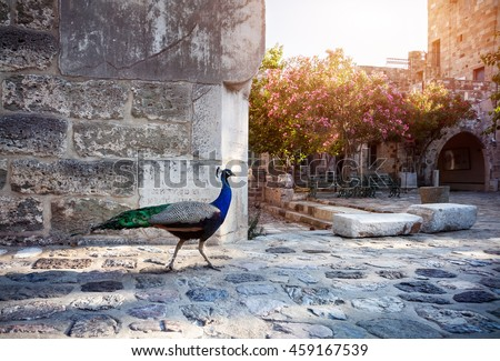 Peacock in the garden of Bodrum Castle museum, Turkey  - stock photo