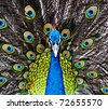 Peacock in the thailand zoo - stock photo