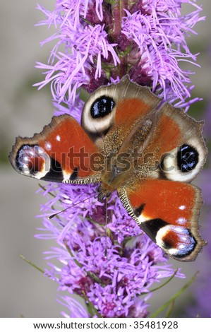 peacock, inachis io - stock photo