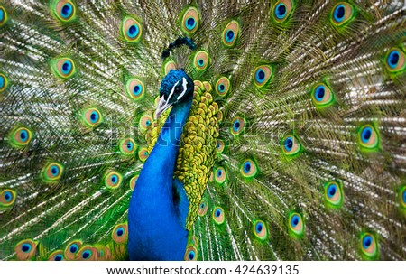 peacock male showing his beauty - stock photo
