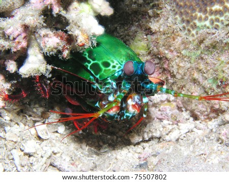 Peacock mantis shrimp - stock photo