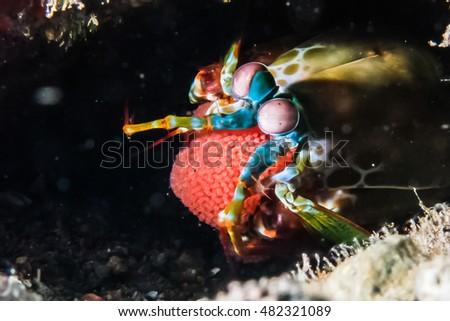 Peacock Mantis Shrimp Stock Images, Royalty-Free Images & Vectors ...