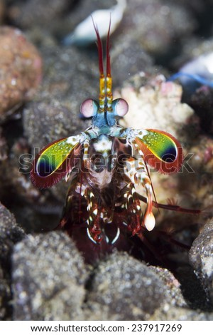 Peacock mantis shrimp in Gorontalo, Indonesia underwater photo. Also known harlequin mantis shrimp, painted mantis shrimp, or clown mantis shrimp. - stock photo