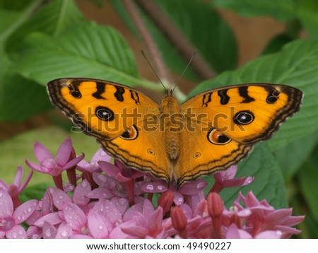 Peacock Pansy Butterfly - stock photo